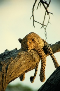 Lookie here leopards. If you live your life on the naughty list - this too could be you in a few years.