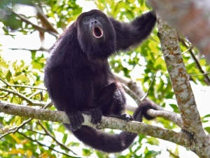 black-howler-monkey-photos-3.jpg.9042162861093e9645f29b9d8dd72e13