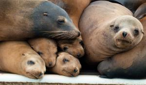 20100513_california_sea_lion_family_portrait