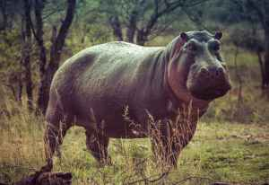 black hippopotamus on green grass